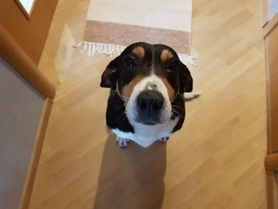 Найдена черная собака( с белыми лапами)