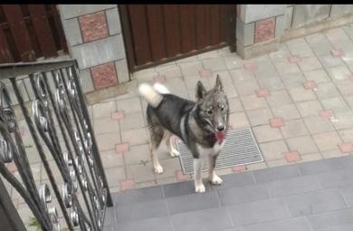 Пропала собака Лайка