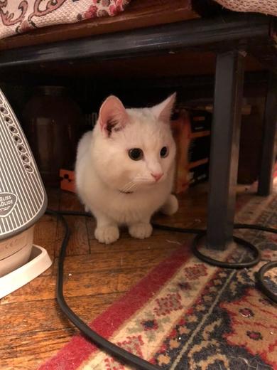Белый кот с разными глазами, фото 2